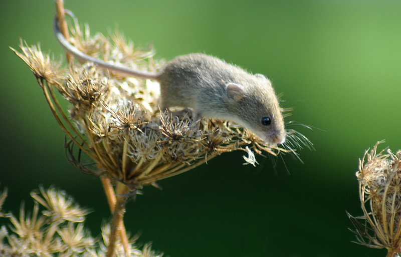 Harvest mouse on seedhead