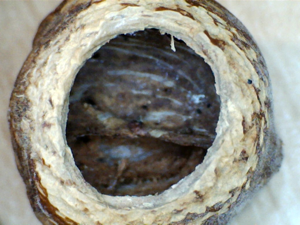 Nut nibbled by a dormouse. Note the smooth inner surface of the hole, and the scratches outside the hole.