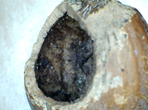 Hazel nut that has been nibbled by a woodmouse or yellow-necked mouse: note the toothmarks on the inner slope of the hole, and scratch marks around the outside of the hole