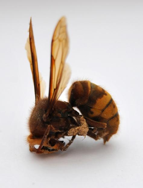 (dead) hornet